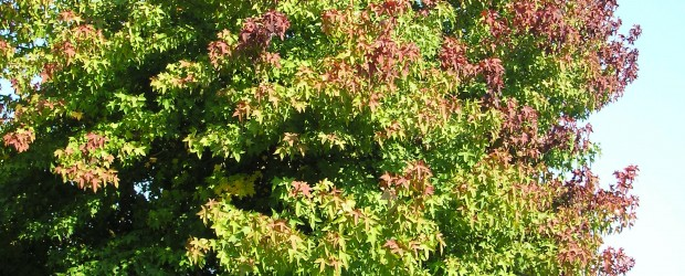 There are a number of trees that you should never plant in your yard, but the liquidambar or Sweet Gum tree should be at the top of your list.  This […]