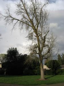 Liquidamber sweet gum tree