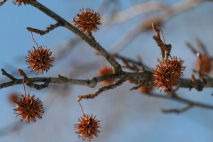 Sweet gum liquidambar tree