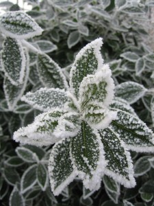 frost on bay leaves