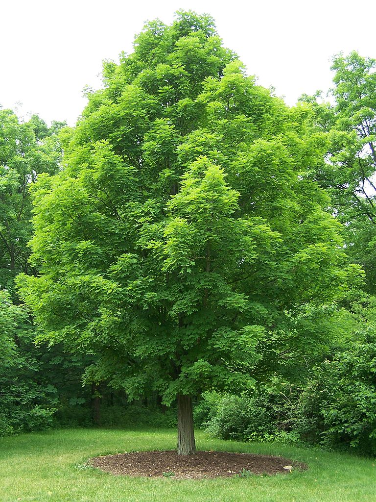 maple tree types of maple trees best trees to plant