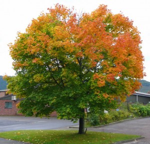 Norway Maple, Acer platanoides. Credit: Jonathan Billinger