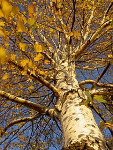 Birch Worst Tree