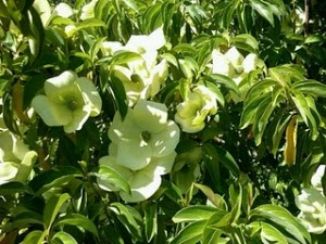 Evergreen Dogwood