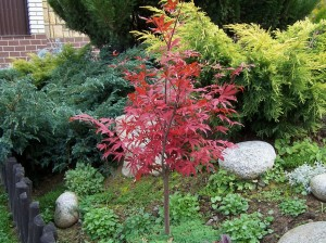 small tree japanese maple