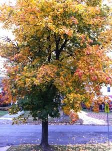 Favorite tree maple tree