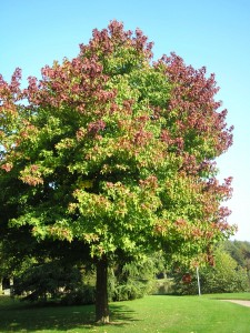Never Plant This Tree in Your Yard - Liquidambar styraciflua sweet gum tree