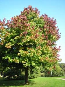 Never Plant This Tree in Your Yard - Liquidambar styraciflua sweet gum tree