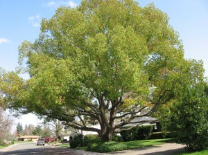 Camphor tree and your yard best trees to plant for Nice trees for front yard
