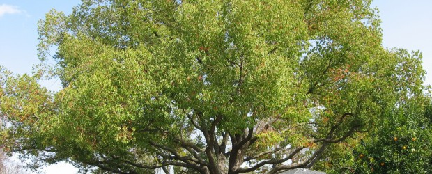 Take a close look at the Camphor tree at the top of this article.  Wouldn't you love to have this wonderful shade tree in your front or back yard?  Best […]