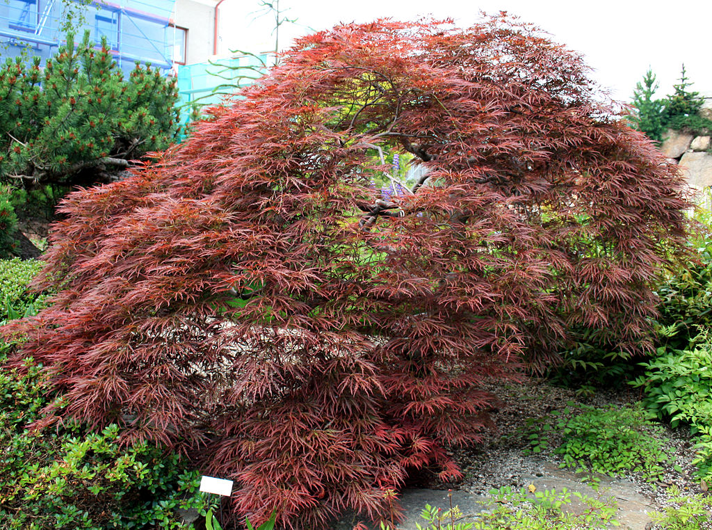 Types of maple trees best trees to plant for Garden trees types
