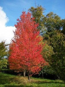 Acer rubrum L. Red Maple