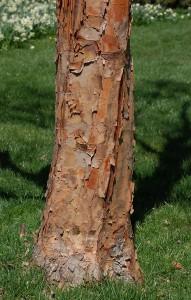 Paperbark Maple, Acer griseum
