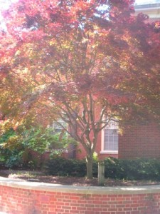Best Trees To Plant Near The Sidewalk - Hedge Japanese Maple